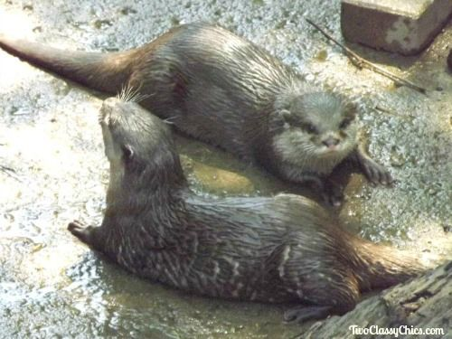Otters at the Cleveland Metroparks Zoo in Ohio