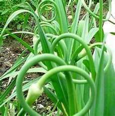 Planten waar slakken niet van houden : Oost- Indische kers, salie, tijm, hysop, knoflook en tomaat. Plant ze op verschillende plaatsen langs het parcours die de slakken in je tuin meestal volgen.  Vooral knoflook is erg doeltreffend.   Slakken houden zeker niet van knoflook, een giftige plant voor slakken  Deze plant is zelfs giftig voor slakken. Dat is ook het geval met allerlei kopermateriaal.