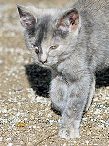 white domestic longhair cat