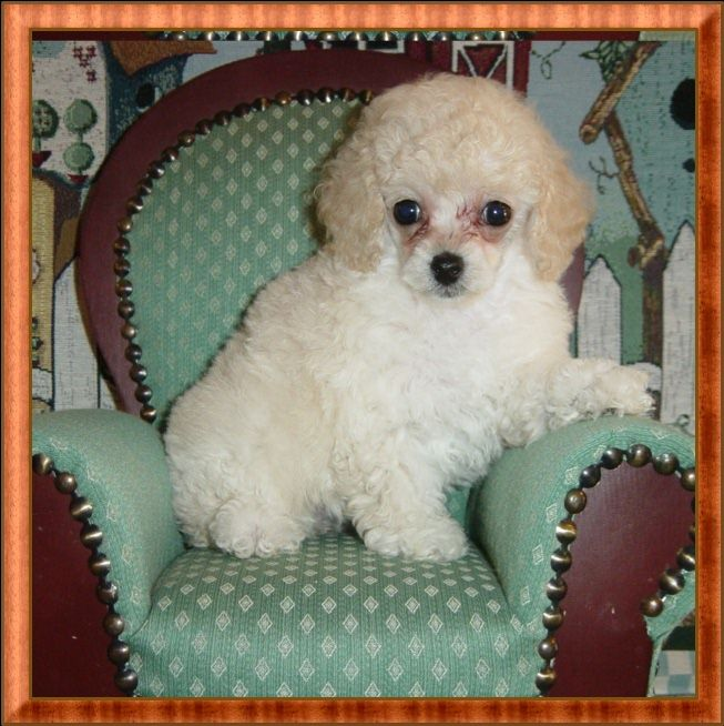 White Teacup Poodle Puppy - Female - Sold to Polly in TN ...