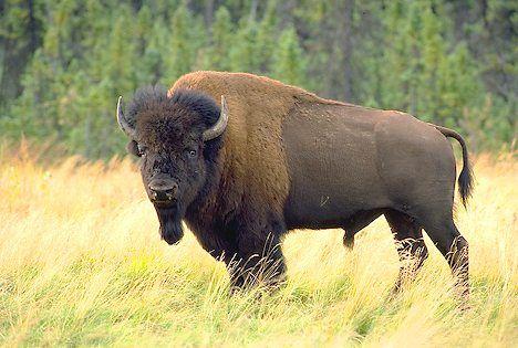American Bison   Montana, Wyoming and Payne's Prairie, Florida