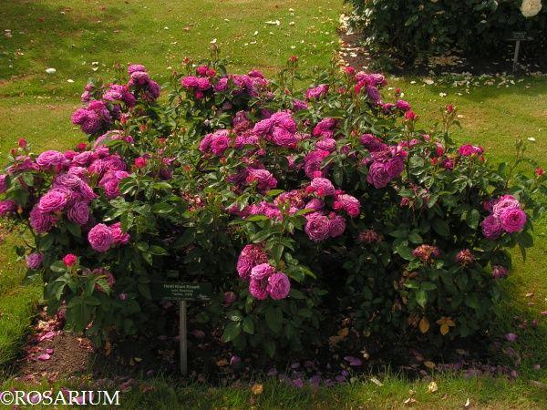 die besten 25 heidi klum rose ideen auf pinterest rosen tantau teerosen und rose. Black Bedroom Furniture Sets. Home Design Ideas