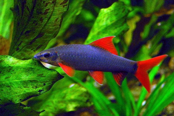 Labeo frenatus koi fish pinterest - Poisson shark aquarium ...