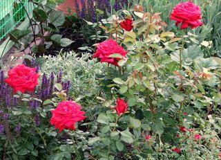 как укрывать розы, как укрыть розы +на зиму, как укрыть розы зимой, розы, укрываем розы
