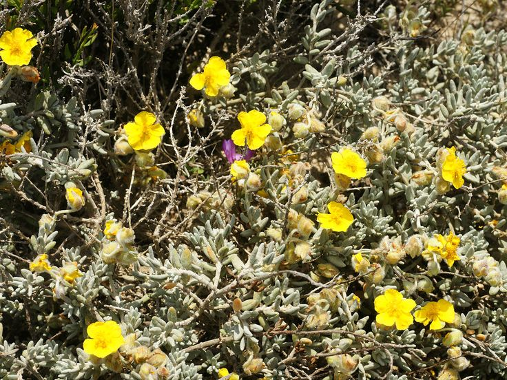 Helianthemum caput-felis or Jarilla de cabeza de gato, which is the Spanish name for this rare plant from Cala Mosca south of Torrevieja in Spain.