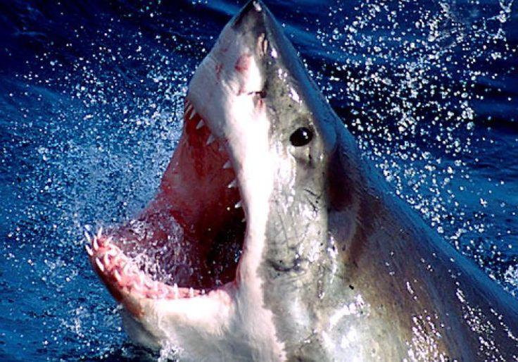 Image result for great white shark facts