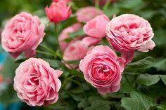 Розы не любят ошибок в уходе