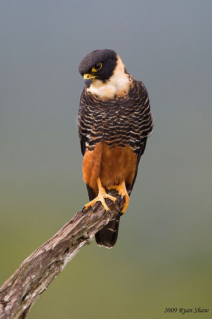 The Bat Falcon (Falco rufigularis) is a falcon that is a resident breeder in tropical Mexico, Central and South America and Trinidad.