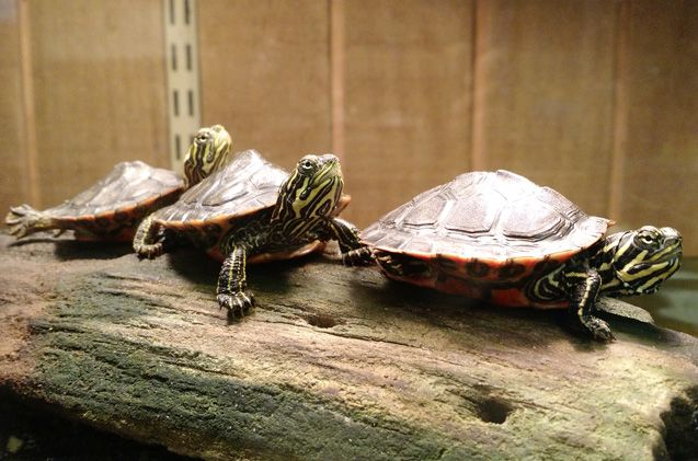 Also known as the Alabama Red-Bellied Cooter, the Alabama Red-Bellied Turtle is popular in the pet trade.