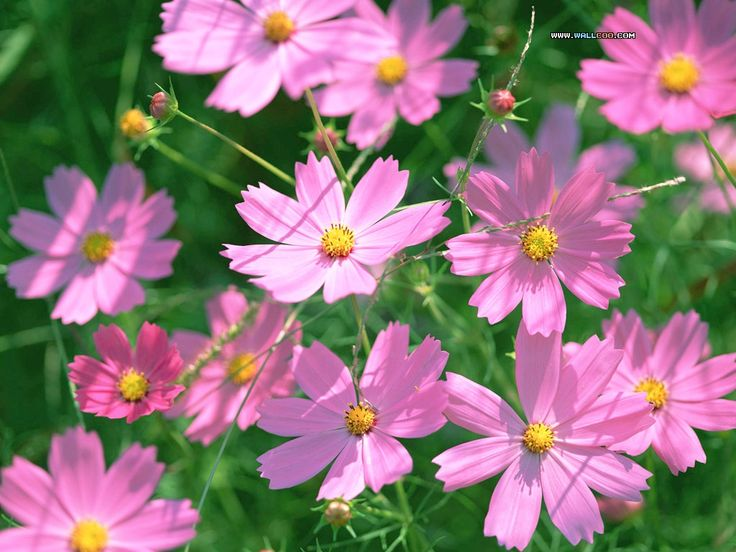 Blue Cosmos Flowers | Cosmos bipinnatus Flower photos | Trees and Flowers Pictures