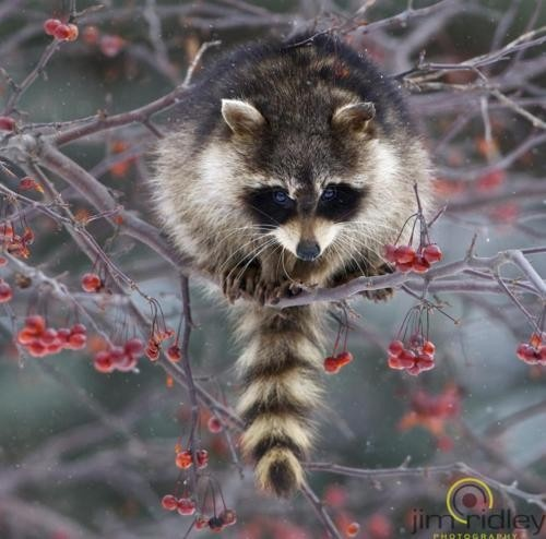 Get the wildlife rehabilitation internship at Greenwood Wildlife Rehab Center in Longmont, Colorado. Massage a raccoon. [CHECK! June 2012]