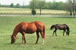 Male Horses: A Role in Early-Term Abortion? A team of researchers found that mares are more likely to have an early-term abortion if they're pastured adjacent to geldings or beside stallions that are not the sires of their fetuses.
