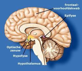 Het endocriene systeem Om alle organen in ons lichaam goed te laten samenwerken, zijn er twee systemen waarmee organen onderling communiceren, dat wil zeggen boodschappen of signalen uitwisselen. h...