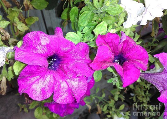 Violet Petunia Greeting Card featuring the photograph Lovely Violet Petunia by Erika H