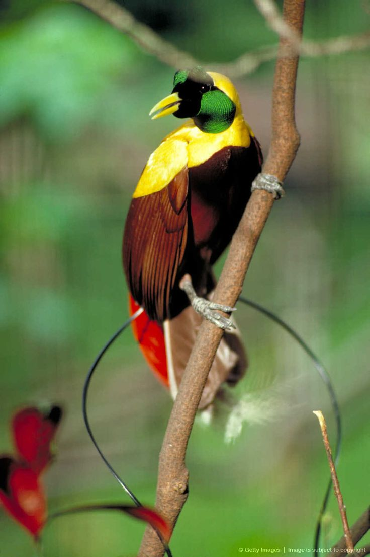 paradisebirds.net p Red bird of paradise