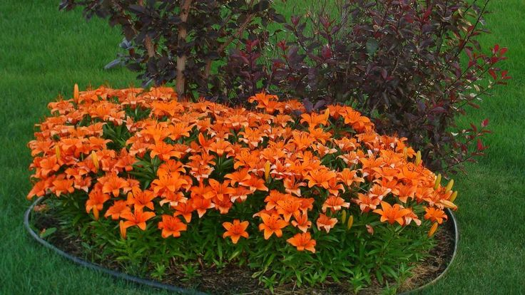 lilly flower beds | flowers index lily gallery orange asian lilies flower bed next picture