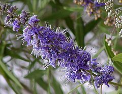 Flores de Vitex agnus-castus, Hemingway, Carolina do Sul