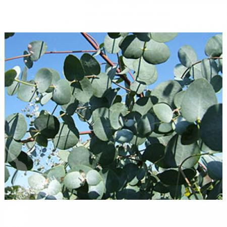 Eucalyptus Cider Gum - 12 mtrs H x 5 mtrs W. used for floristry -  and also grown as hedging ( If pruned regularly in winter)