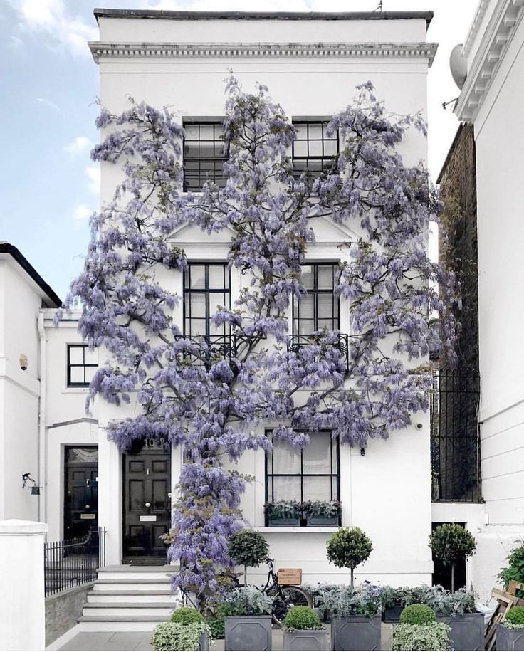 Kensingnton, London #wisteria