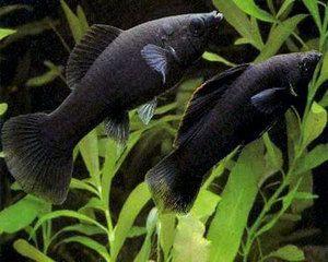 Tropical Sailfin Black/Dalmation Mollies Fish ~ Male ... Black Molly Fish Male Or Female