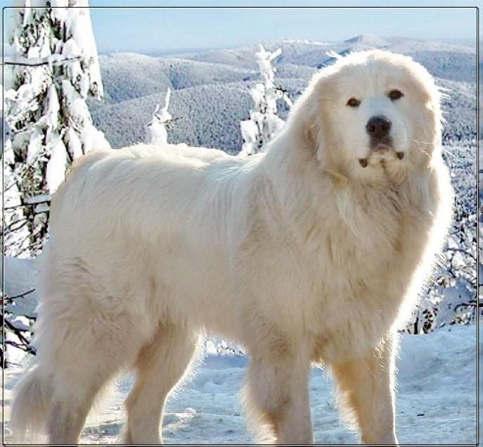 Great Pyreneeshttps://m.facebook.com/groups/121067257932498?view=permalink&id=1123172497721964