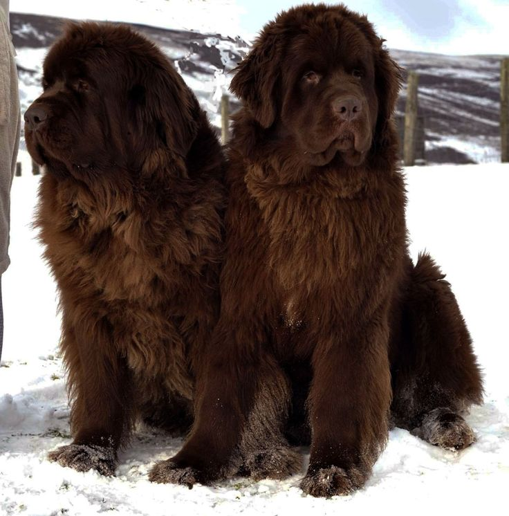 Newfoundland dogs, perfection! I've never seen these beautiful beasts in chocolate! Only black or white. :)