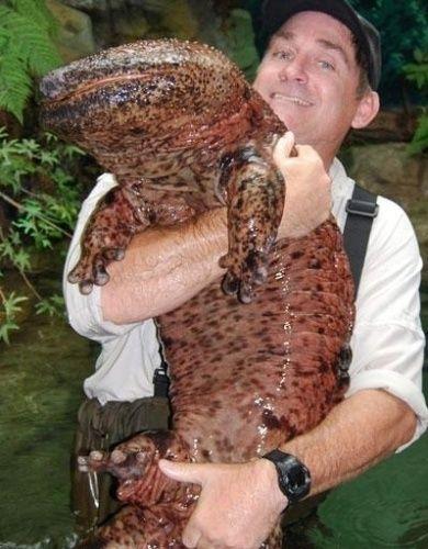 """A salamandra gigante chinesa (""""Andrias davidianus"""") mereceu ser mostrada ao lado de um homem para dimensionar o seu tamanho - frequentemente passa de um metro de comprimento e pode chegar a até 1,8 metro. É a maior salamandra e o maior anfíbio do mundo. Ela é totalmente aquática e habita as regiões centrais e sul da China, mas, atualmente, é encontrada raramente, pois se encontra em estado crítico de perigo de extinção. Esta espécie tem um corpo alongado, dois pares de pernas, focinho…"""