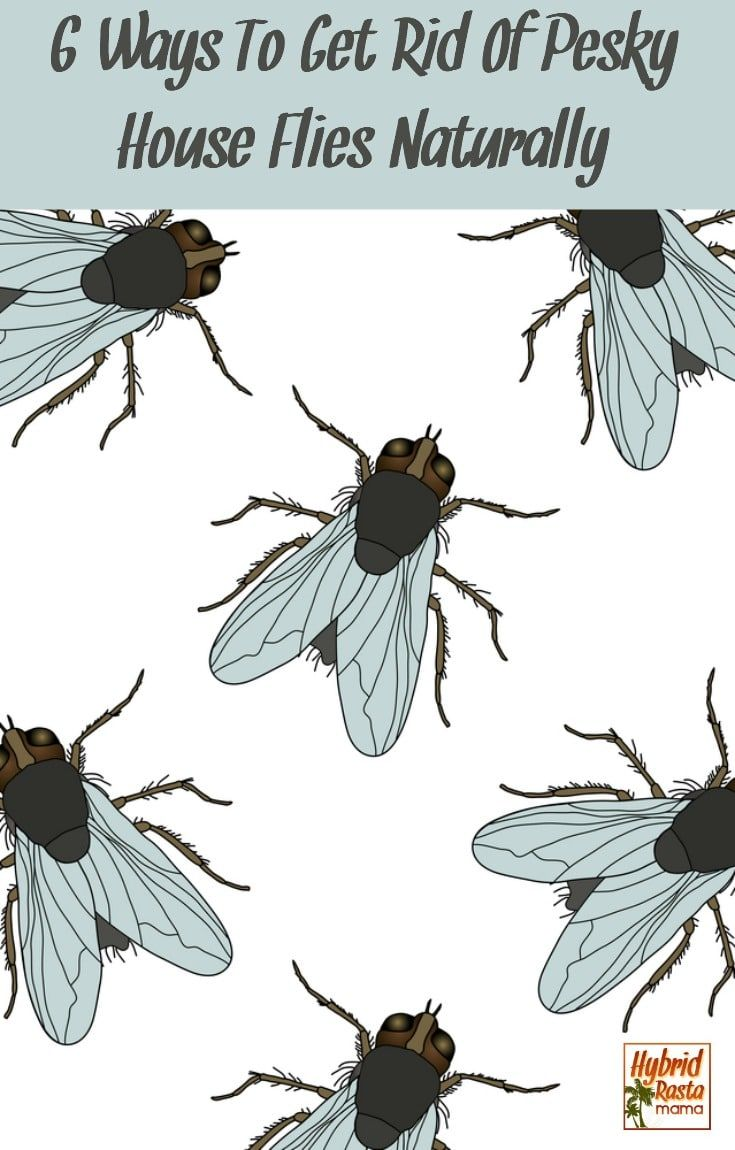 Pesky house flies sneaking in and taking up residence in your home? Here are 6 ways to get rid of house flies naturally. Send those flies packing today! From HybridRastaMama.com #flies #insects #insectrepellent #bugspray #greenliving #pestcontrol via @hybridrastamama
