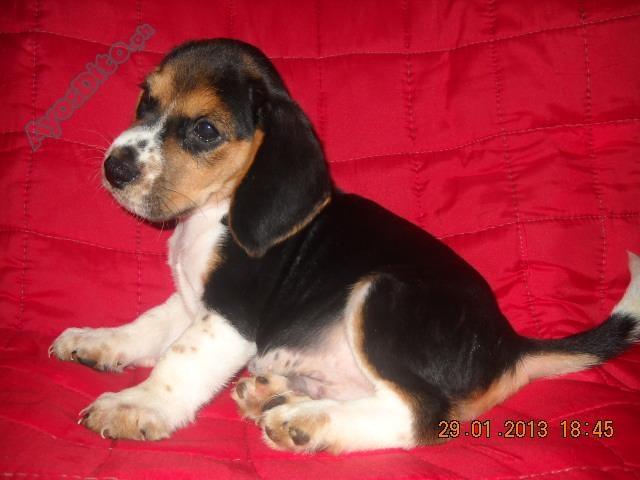 Beagle Baby Beagles For Sale Pets Beagle