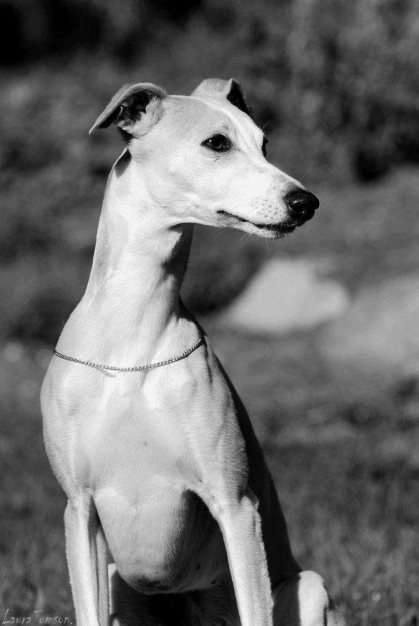 17 best images about  u10e6 whippet on pinterest