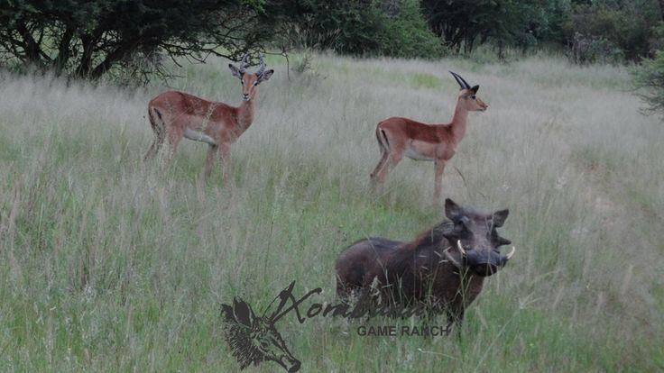 Photo of the Day : TOUCH this image: Xombana-DinokengGameReserve, Warthog & Impala by Xombana