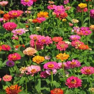 Zinnia are the perfect summer flower, they are bright, beautiful, easy to grow, & they bloom all summer!