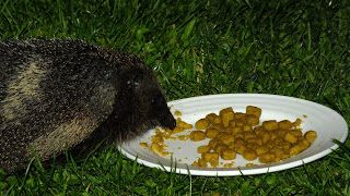 Hedgehog Watch Dublin: Hedgehog Watch Dublin 13/14 June 2015