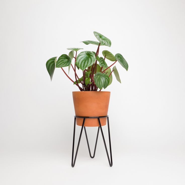 Black Mini Wire Hairpin Plant Stand and Terracotta Pot Planted with Watermelon Peperomia (Peperomia argyreia)