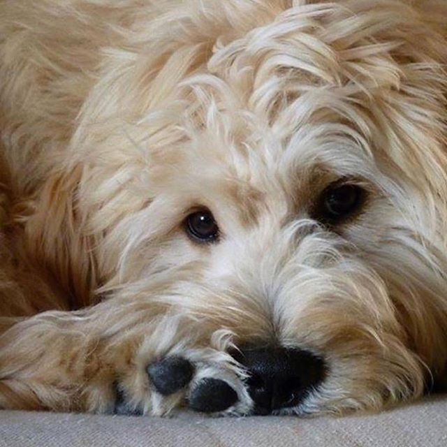 English Goldendoodle From Moss Creek Goldendoodles English