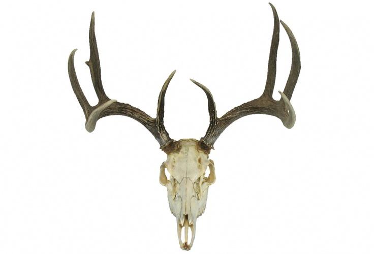 Whitetail Deer Skull with Antlers   Skull   Pinterest ...