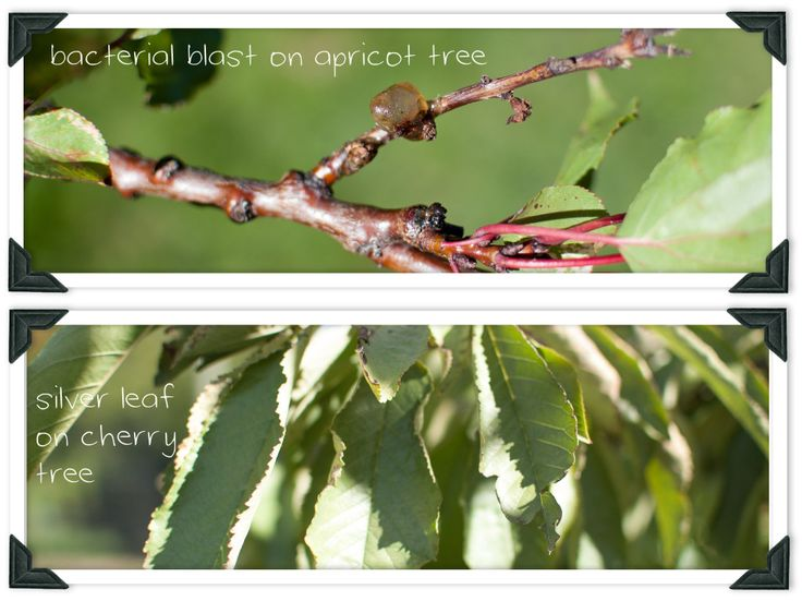 learn about common diseases that effect cherry and apricot trees and how to cure them.