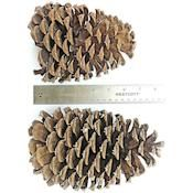 Jeffries Large Pine Cones  - More ideas from DriedDecor.com