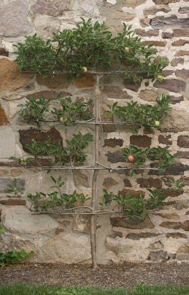 Spalierbaum