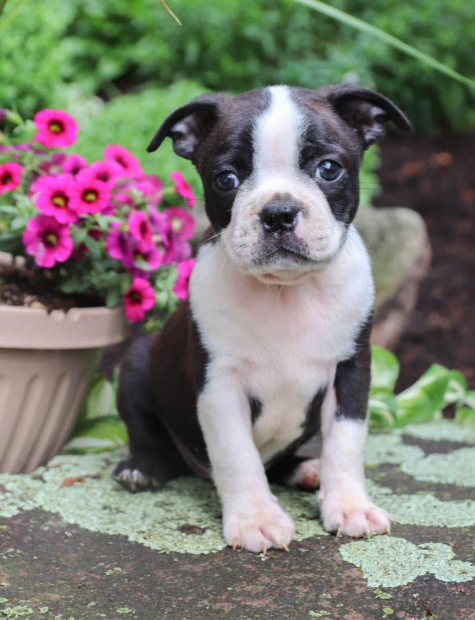 Puppies For Sale Boston Bull Terrier Puppies Boston Terrier Puppy