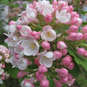 Viburnum Collection Detail - Molbak's (deciduous and evergreen shrubs)