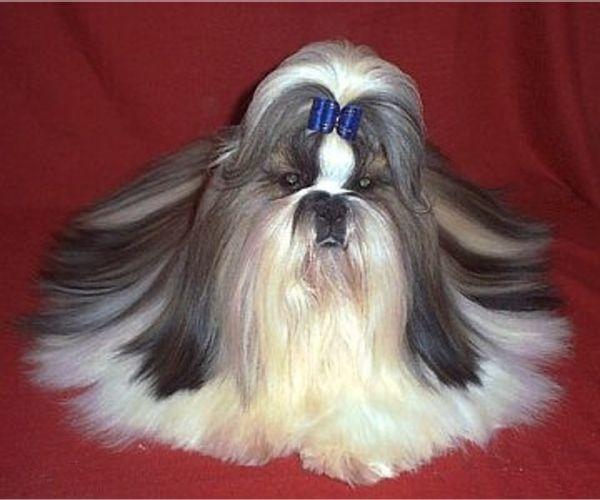 View Ad Shih Tzu Puppy For Sale Near Missouri Centralia Usa