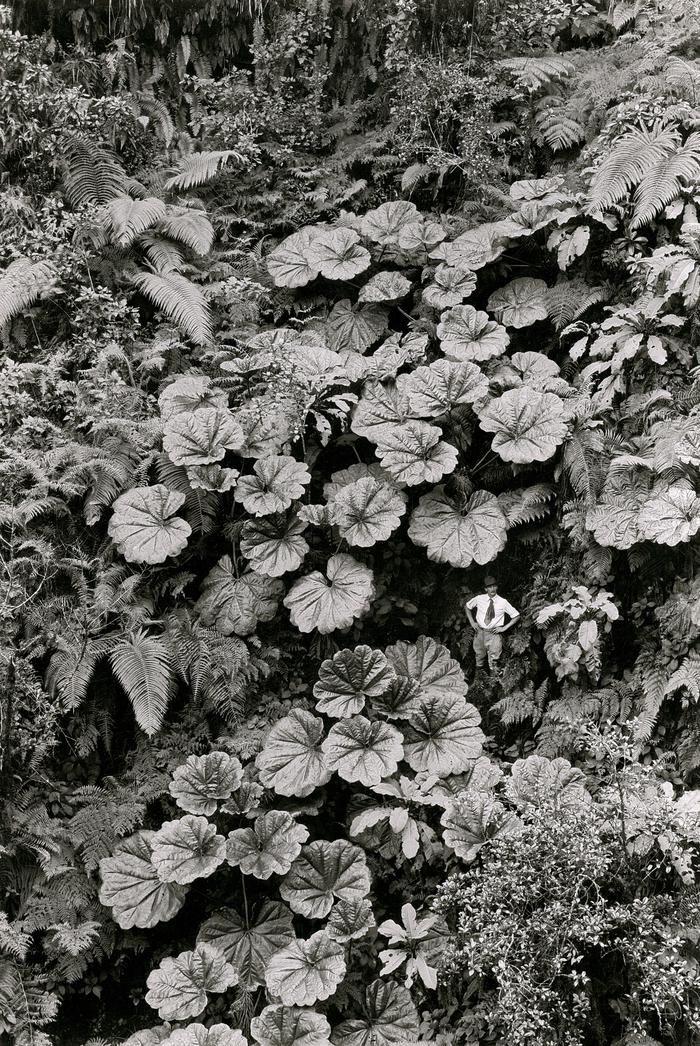 «Мальчик–с–пальчик». Гигантские растения острове Мауи, Гавайи, США, 1924 год.