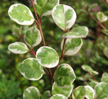 Lophomyrtus x ralphii 'Sundae' 1