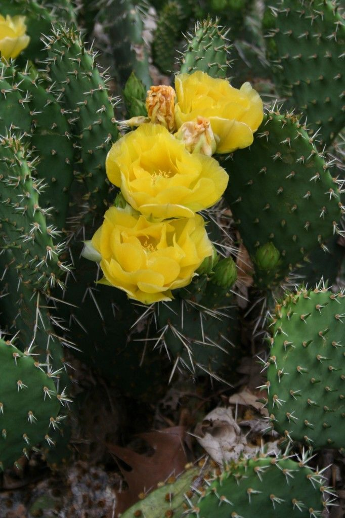Prickly Pear In Bloom Maybe I Should Pin This Under