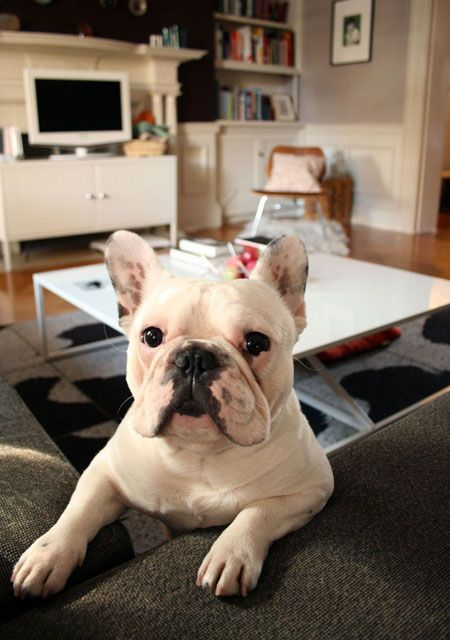 happy dog.: House Tours, French Bulldogs, Happy Puppys, Apartment Therapy, Cool Couch, Great Friends, Dogs Show, Cute Pics, Happy Dogs