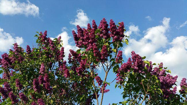 Les 11 meilleures images du tableau plantes et v g taux d 39 ornement sur pinterest plantes mon - Quand tailler les lilas ...