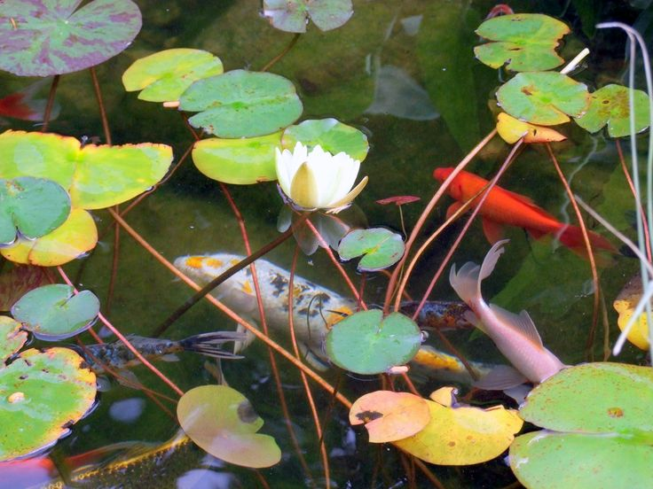 10 Best Koi Ponds Images On Pinterest Ponds Koi Ponds