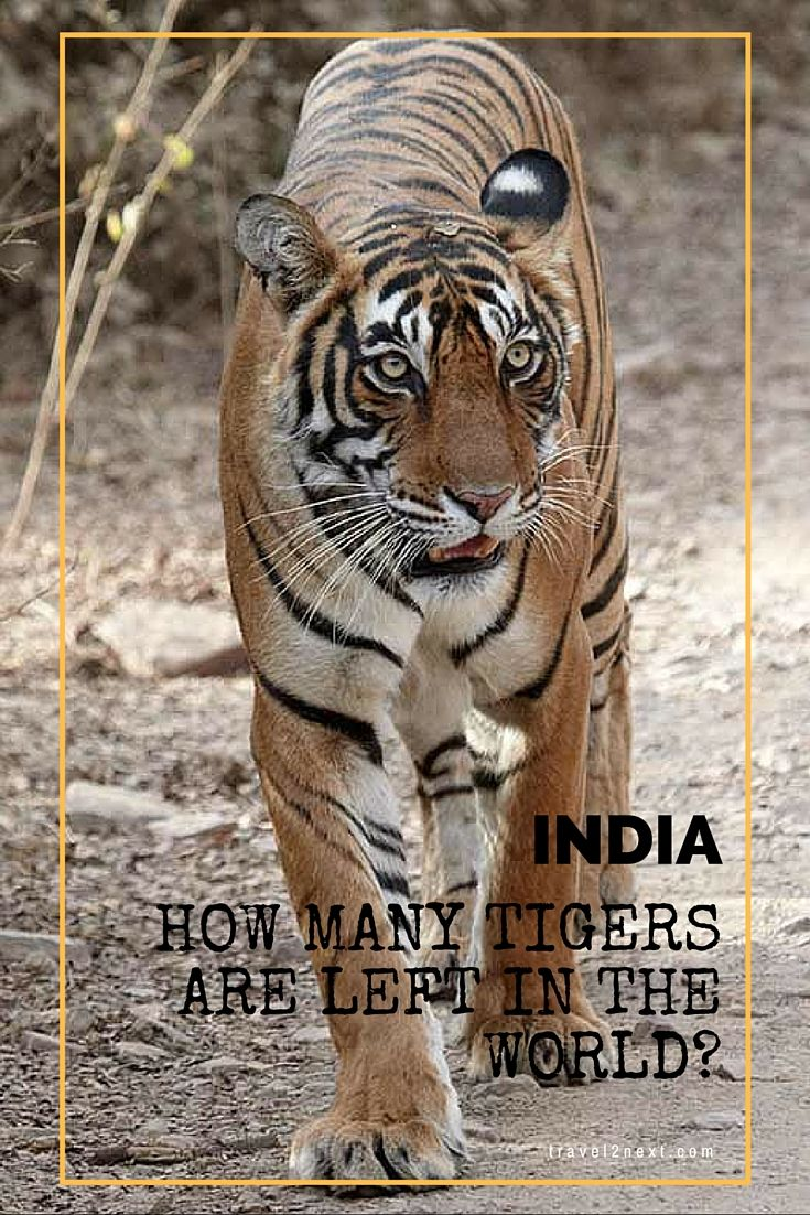 The world has lost 97% of its tiger population in a little over a century. Three tiger subspecies, the Bali, Javan and Caspian tigers, became extinct in the 1980s.