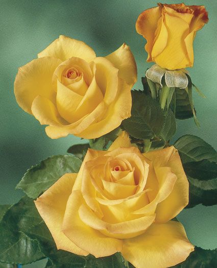Gold Medal Hybrid Tea-Here's a yellow that stands in defiance against the climatic throes of Mother Nature. The very vigorous plant gives a nearly constant supply of shapely dark gold buds brushed with orange and deep golden yellow flowers rich with fruity fragrance. The long stems are low-thorned and clothed with large very resistant deep green foliage. Deeper color in moderate climates.